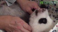 0907 圓仔雙滿月體檢 The Giant Panda Baby Health Checkup(720p