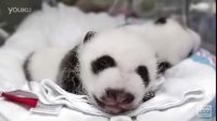 Giant_Panda_Cubs-_5_weeks_old