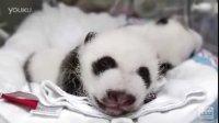 Giant_Panda_Cubs-_5_weeks_old