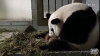 Giant_Panda_Twins_Birth