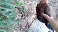 视频: 南平红星生态土鸡 微信微博qq2542915377