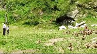 金丝猴,猴子,珍稀动物,野生动物,动物,高清视频素材,影视素材来自西橘网