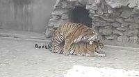 老虎发威了