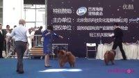 安娜犬舍松狮昆仑本部展非运动犬组总冠军BIG