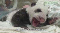 圓仔萌牙了 The Giant Panda Cub Start to Grow Teeth