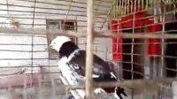 会说话的小鸟-