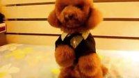 红色玩具贵宾犬  广州贵宾犬