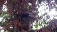 睡觉的小熊猫sleeping red panda@dublin zoo