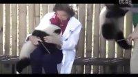 在西班牙的大熊猫双胞胎 - Panda bears twins at the Madrid Zoo