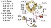 王云祥 人体解剖学08-泌尿系统生殖系统