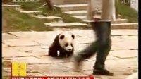 Giant panda 大熊猫宝宝