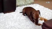 视频: 狗狗也会笑吗?http:www.y0666.com