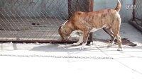中亚牧羊犬——金钱豹与狙击手对峙