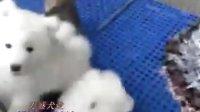 广州宠物店广州哪里买双眼皮萨摩耶广州万盛犬业是最佳选择