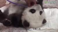 095圆仔3個月健檢 Baby Giant Panda Health Examination