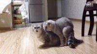 视频: 猫咪成功配种(泡子和虎妞)