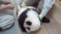 圆仔100天大啦!100 Days Old Baby Giant Panda!