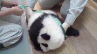圓仔100天大囉!100 Days Old Baby Giant Panda!