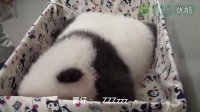 團團的翻模-圓仔 Baby Giant Panda Looks Like Her Father