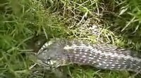 太神奇了:被吞的青蛙居然逃离了蛇的胃,成功脱险