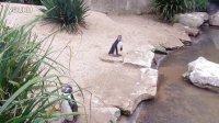 企鹅 推荐看完~penguin cuuuuuuuuuuuuute!@dublin zoo