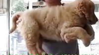 广州买狗狗到哪好 中美名犬是您最佳选择 金毛犬有卖多少钱一只 多少钱可以买到健康纯种金毛犬