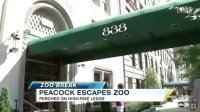 ‪Peacock Escapes NYC's Central Park Zoo