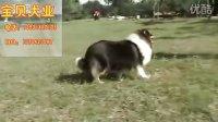 广州那里有卖牧羊犬 广州宝贝犬业纯种苏格兰牧羊犬
