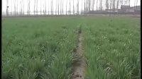 《乡村科技》第120期乡村信息站(中原植保)搞好麦播期拌种防治小麦病虫害视频