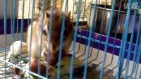 金花松鼠 小松鼠吃栗子