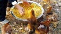 生态散养鸡--加餐美味南瓜