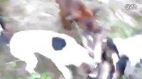 视频: 太仓打猎 中国南宁猛犬俱乐部 qq群120160716