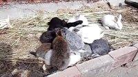 抢面包吃的兔子(惠州惠城区冰塘)