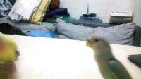 黄桃牡丹鹦鹉和绿金顶打架