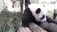 1103 圓仔的戶外大自然體驗 Baby Giant Panda Yuan Zai Experien