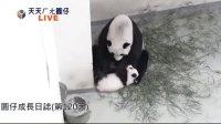 天天ㄏㄤ圓仔 網路直播 2013.11.03 Baby Giant Panda  Yuan-Zai