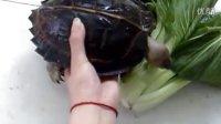 宝贝亚巨 亚洲巨龟 大型龟QQ群 12370980