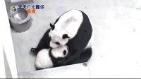 天天ㄏㄤ圓仔 網路重播 2013.11.04 Baby Giant Panda Yuan-Zai