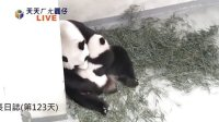 【圓仔直播】2013.11.06 Baby Giant Panda Yuan-Zai Day-123 (36