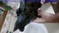 野生甲鱼多少钱一斤