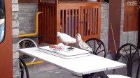 偷拍鸽子偷吃