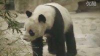 beijing zoo 北京动物园 panda 熊猫视频