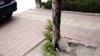 三寸金莲的大树!