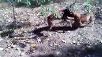 比特犬 鳄鱼皮皮