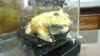[宠物宅]黃金角蛙吃小牛蛙