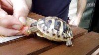 小龟萌萌的吃着西瓜