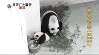 天天ㄏㄤ圓仔 網路重播 2013.11.21 Baby Giant Panda Yuan-Zai