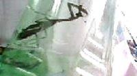 饥饿的螳螂和恐惧的苍蝇