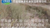 新疆巴州巴音绿洲野生罗布麻生长地探秘