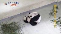 天天ㄏㄤ圓仔 網路重播 2013.11.24 Baby Giant Panda Yuan-Zai